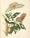 White Witch Moth and Hawkmoth / Merian