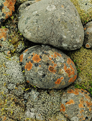 Lichens on River Stones, Iceland / Porter
