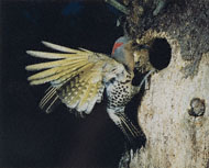 Eastern Flicker / Porter