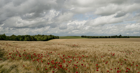 Photo of yellow fields with red flowers