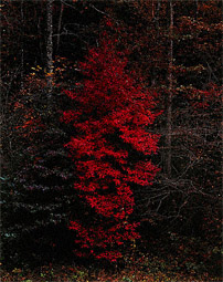 Red Tree, Great Smoky Mountains National Park, / Porter