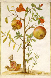 Pomegranate / Merian