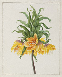 Yellow Crown Imperial / Herolt