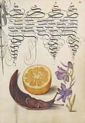 Orange, Mollusk, Larkspur / Hoefnagel