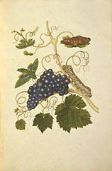 Grapes and Caterpillars / Merian
