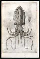 Squid / Salviani