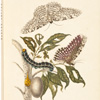 Metamorphosis of the Insects of Surinam / Merian