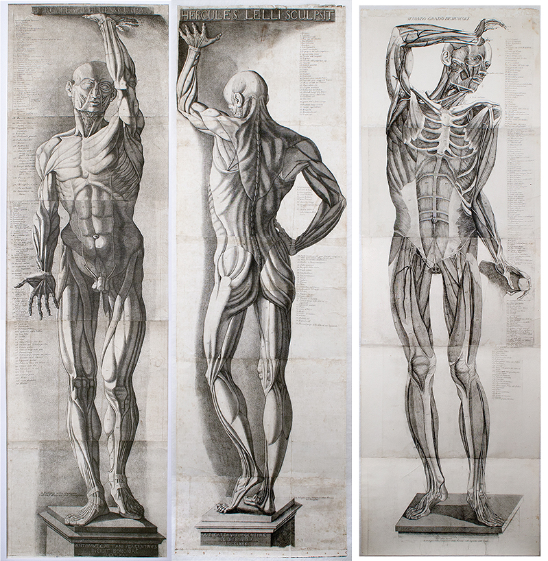 Three life-size écorché engravings / Cattani